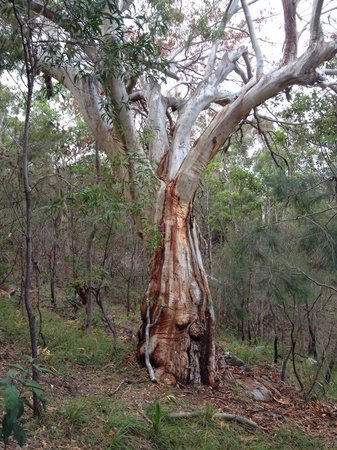 Mount Coolum: Mt Coolum tree.