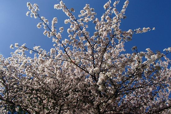 Nitobe Memorial Garden: Blossoms and sky