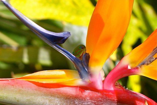 Turtle Bay Resort : Bird of Paradise with Gekko at the entrance of Turtle Bay