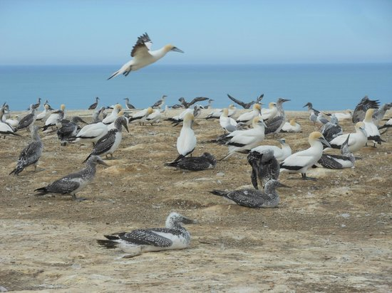 Cape Kidnappers: Coming in for landing