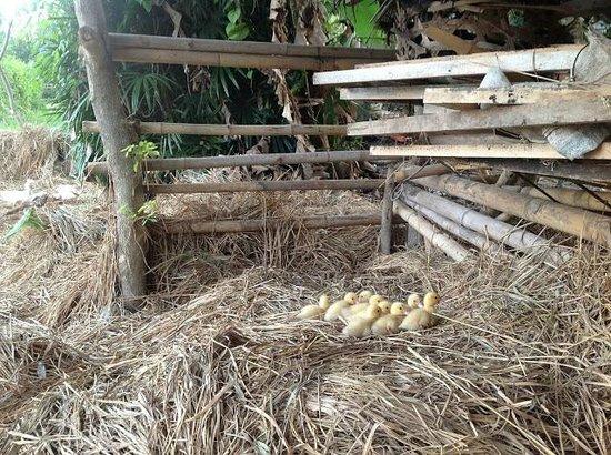 Kebun Indah : Cute ducklings