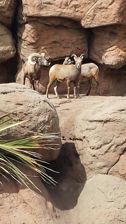 Arizona-Sonora Desert Museum : Big Horn sheep.