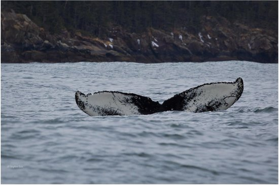 Alaska Saltwater Lodge Small Group Whale Watching, Wildlife & Glacier Tour : Humpback Whale