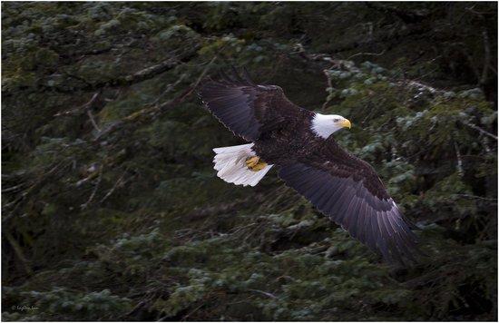 Alaska Saltwater Lodge Small Group Whale Watching, Wildlife & Glacier Tour : Bald Eagle