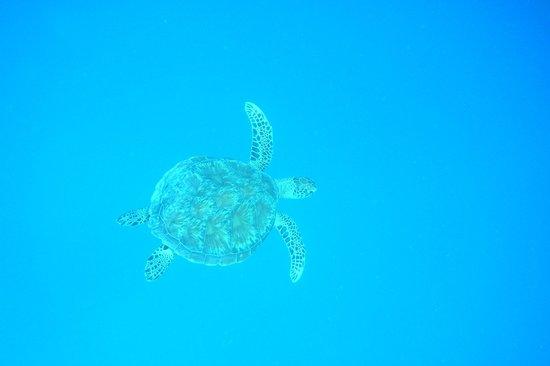 Cinnamon Hakuraa Huraa Maldives: turtle watch snorkeling with latiff
