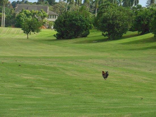Puakea Golf Course: 鶏が・・!