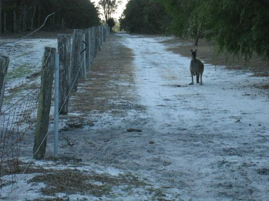 Forest Rise Eco Retreat : Just one of the walks where you'll encounter roos