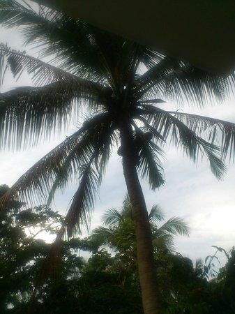 Secret Cliff Resort: Эта пальма с кокосами создавала тенек над балконом номера
