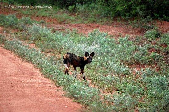 Ithumba Camp : Afrikanischer Wildhund auf dem Weg zum Camp