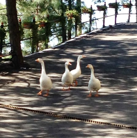 Pine Drive Resort : Geese who came to visit