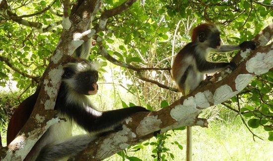 Uroa Bay Beach Resort : singes rouges de Jozani