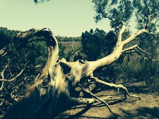 Wormsloe Historic Site: Tree near the marsh
