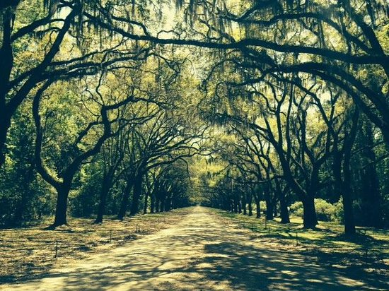 Wormsloe Historic Site: Oak trees when you first arrive