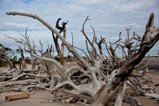 Big Talbot Island State Park: Drift wood