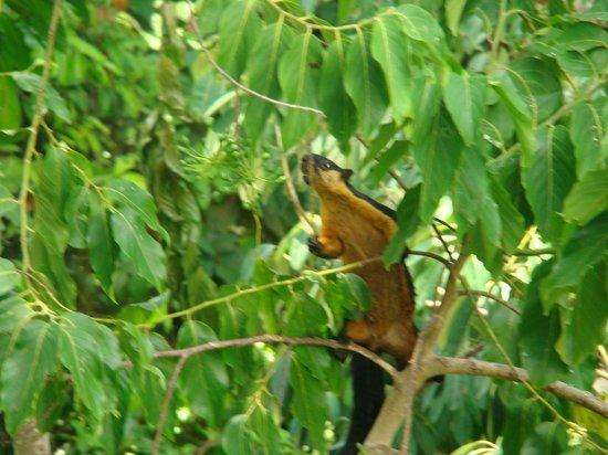 JungleWalla Tours: Giant black squirrel