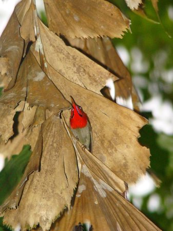 JungleWalla Tours: Crimson sunbird