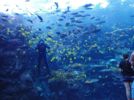 Georgia Aquarium: Scuba diver cleaning the glass.