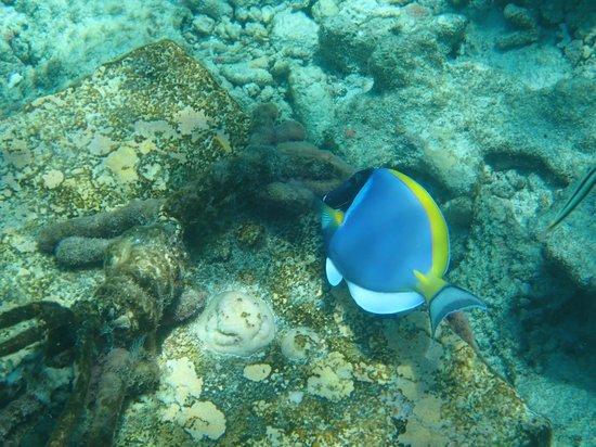 Kuramathi: poisson de la barrière de corail