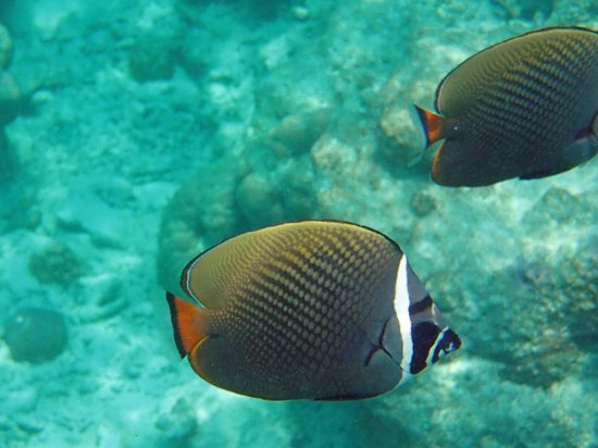 Kuramathi Island Resort : poisson de la barrière de corail