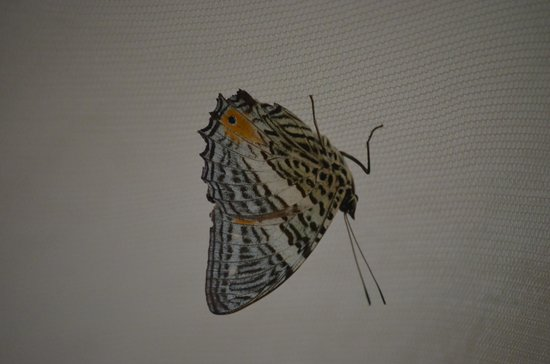 Tambopata Research Center : Moth perched on my mosquito net.