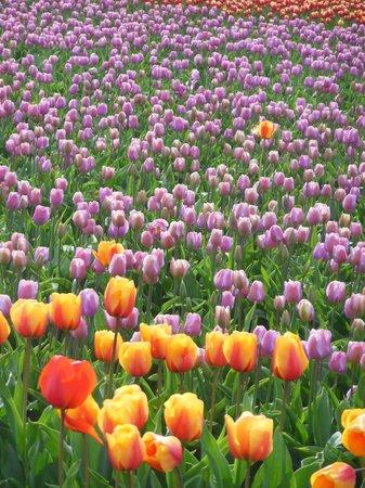 Shutter Tours - Day Tours : Tulip Fields
