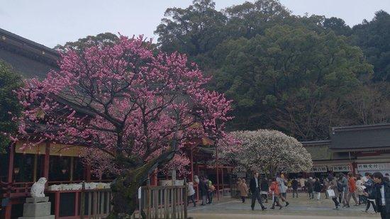 Dazaifu Temman-gu: Plum blossom on the shrine ground