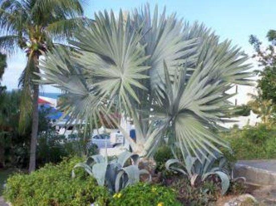 Flamingo Beach Resort: Beautiful blue palm along our morning walk