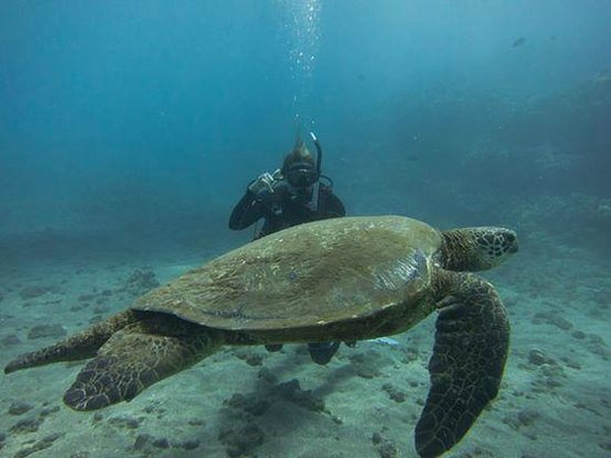 Maui Dreams Dive Co. : Wifey hanging with Mr. Hawaiian Green Sea Turtle - Thanks Curly!