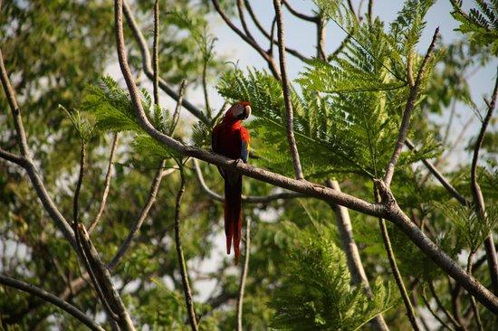 Lookout Inn Lodge: Lookout Inn Scarlet Macaws