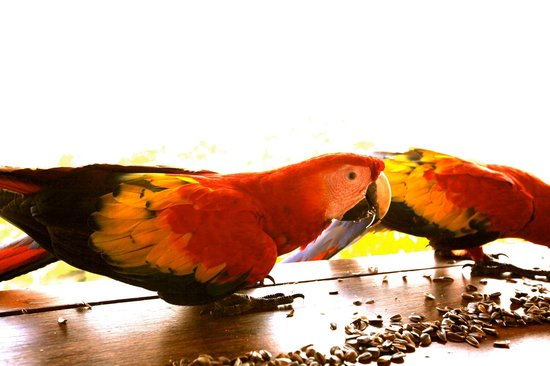 Lookout Inn Lodge : Macaws