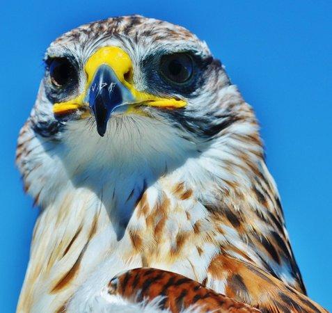 Phoenix Falconry : Reg the ferruginous buzzard