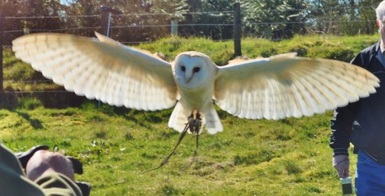 Phoenix Falconry: Dave the barn owl