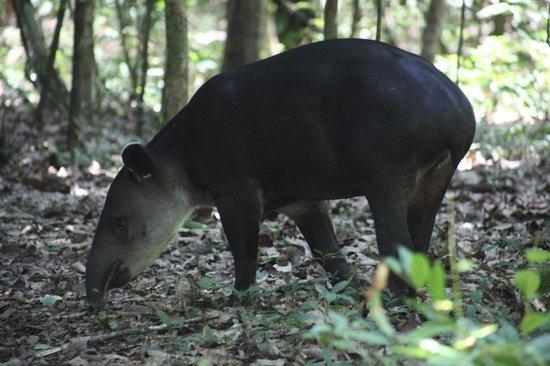 Corcovado National Park: Tapir-Corcovado