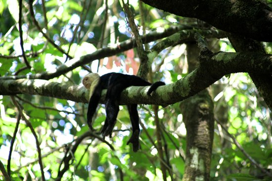 Corcovado National Park : White-faced Capuchin-Corcovado