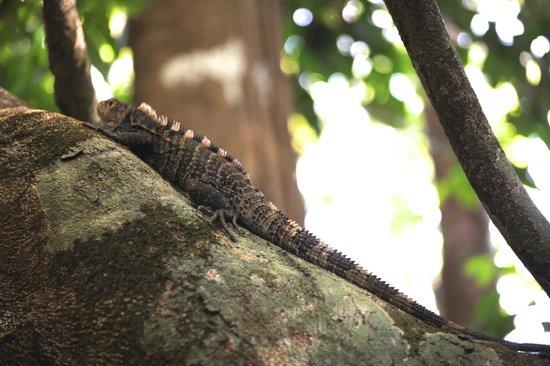 Corcovado National Park: Lizard- Corcovado