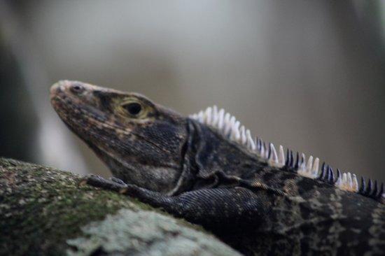 Corcovado National Park : Lizard Corcovado