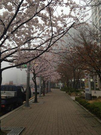 World Guest House: 飯店外面盛開的櫻花