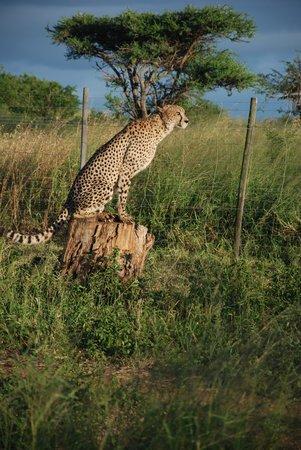 Zulu Nyala Heritage Safari Lodge : The Cheetah
