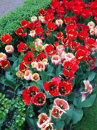 Beautiful flowers picture of floralia spring flower show groot floralia spring flower show many varieties of tulips mightylinksfo