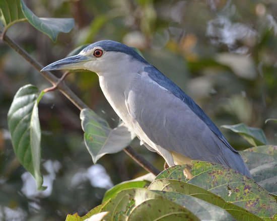 Bakotu Hotel: Black Crowned Night Heron