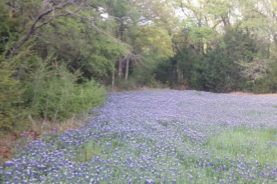Mansfield, Teksas: Bluebonnet area in the park.
