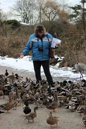 George C. Reifel Migratory Bird Sanctuary : as soon as the ducks know food is around the come fluttering in.