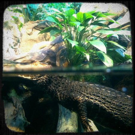 Shedd Aquarium: The cayman isn't always out in plain sight.  Finally got lucky!