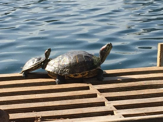 Lake Eola Park : Lake Eola Turtles
