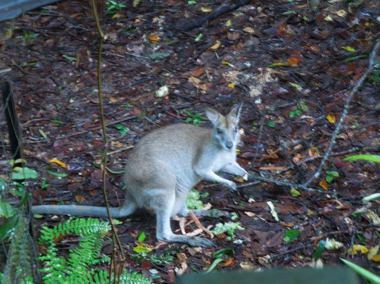 Miju Rainforest Retreat : Wallaby near the Veranda
