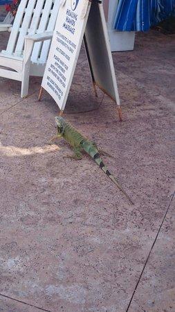 DoubleTree by Hilton Hotel Grand Key Resort - Key West: Hello little iguana :))
