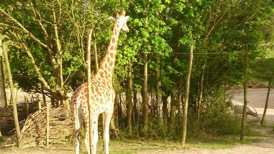 Chessington World of Adventures Resort : Gorgeous Giraffe