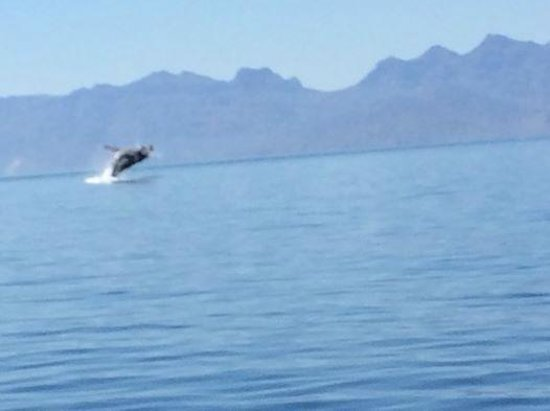 Villa del Palmar Beach Resort & Spa at The Islands of Loreto: Blue whale breaching during snorkel tour of Isla Coronado.