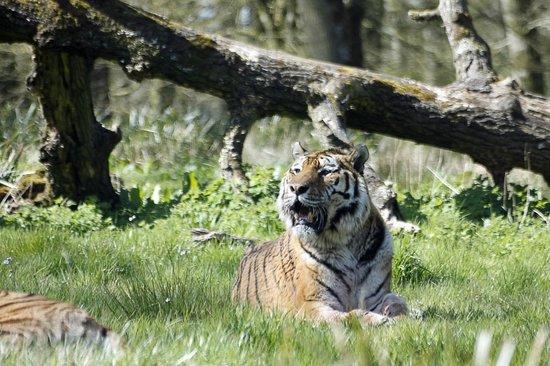 Longleat: Siberian Tiger
