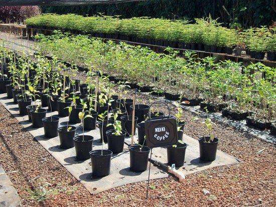 Kauai Coffee Company: Growing coffee trees